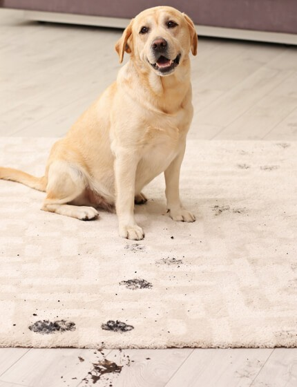 Dogs footprint stains on Rug | Gillenwater Flooring
